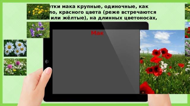 Цветки мака крупные, одиночные, как правило, красного цвета (реже встречаются белые или жёлтые), на длинных цветоносах, Мак