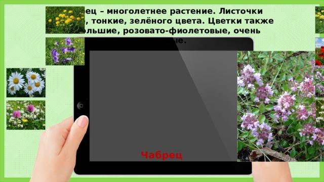 Чабрец – многолетнее растение. Листочки мелкие, тонкие, зелёного цвета. Цветки также небольшие, розовато-фиолетовые, очень красивые. Чабрец 5