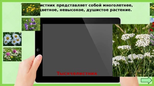 Тысячелистник представляет собой многолетнее, сложноцветное, невысокое, душистое растение. Тысячелистник