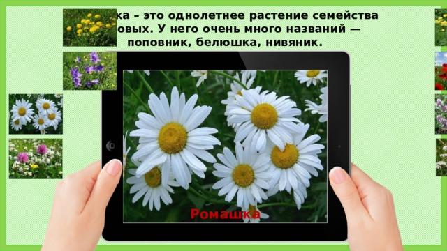 Ромашка – это однолетнее растение семейства астровых. У него очень много названий — поповник, белюшка, нивяник. Ромашка