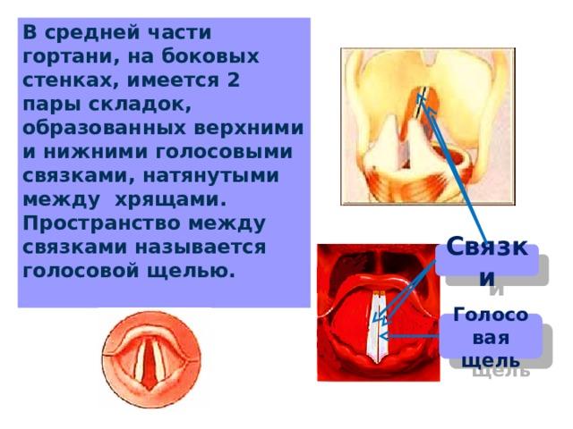 В средней части гортани, на боковых стенках, имеется 2 пары складок, образованных верхними и нижними голосовыми связками, натянутыми между хрящами. Пространство между связками называется голосовой щелью. Связки Голосовая щель