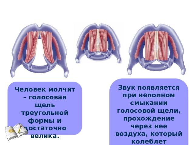 Звук появляется при неполном смыкании голосовой щели, прохождение через нее воздуха, который колеблет голосовые связки. Человек молчит – голосовая щель треугольной формы и достаточно велика.