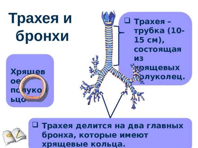 Трахея и бронхи Трахея – трубка (10-15 см), состоящая из хрящевых полуколец.  Хрящевое полукольцо