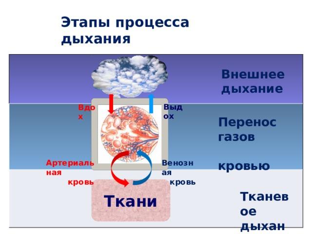 Этапы процесса дыхания Внешнее дыхание Выдох Вдох Перенос газов  кровью Артериальная Венозная  кровь  кровь Ткани Тканевое дыхание