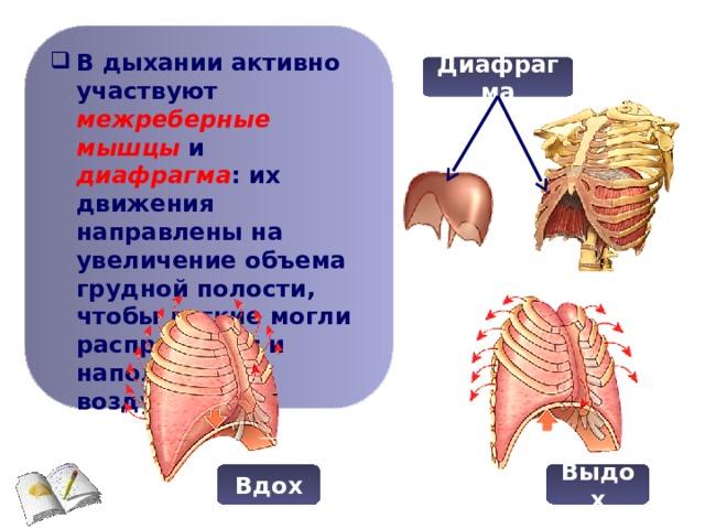 В дыхании активно участвуют межреберные мышцы и диафрагма : их движения направлены на увеличение объема грудной полости, чтобы легкие могли расправиться и наполниться воздухом.
