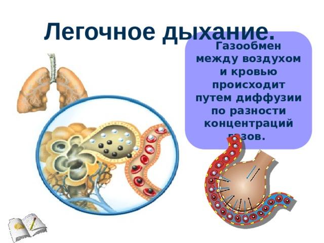 Легочное дыхание. Газообмен между воздухом и кровью происходит путем диффузии по разности концентраций газов.