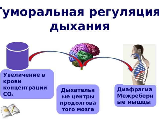 Гуморальная регуляция дыхания Увеличение в крови концентрации СО 2 Диафрагма Межреберные мышцы Дыхательные центры продолговатого мозга