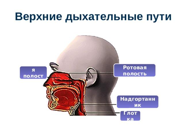 Верхние дыхательные пути Ротовая полость Носовая полость Надгортанник Глотка