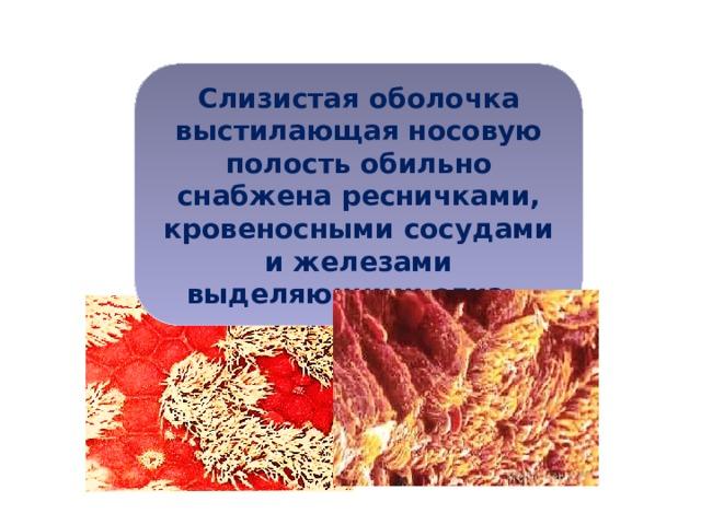 Слизистая оболочка выстилающая носовую полость обильно снабжена ресничками, кровеносными сосудами и железами выделяющими слизь.