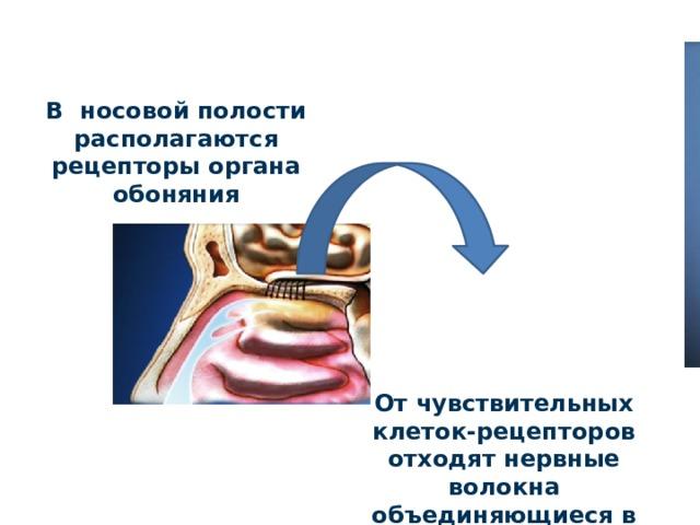 В носовой полости располагаются рецепторы органа обоняния От чувствительных клеток-рецепторов отходят нервные волокна объединяющиеся в обонятельный нерв.
