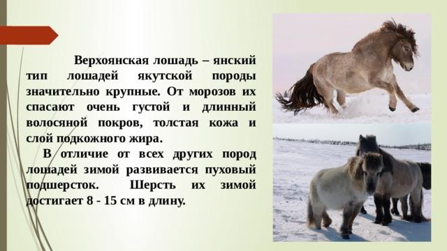 Верхоянская лошадь – янский тип лошадей якутской породы значительно крупные. От морозов их спасают очень густой и длинный волосяной покров, толстая кожа и слой подкожного жира.  В отличие от всех других пород лошадей зимой развивается пуховый подшерсток. Шерсть их зимой достигает 8 - 15 см в длину.
