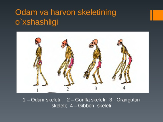 Odam va harvon skeletining o`xshashligi 1 – Odam skeleti ; 2 – Gorilla skeleti; 3 - Orangutan skeleti; 4 – Gibbon skeleti