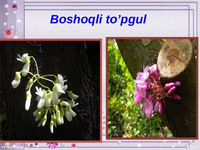 Boshoqli to'pgul