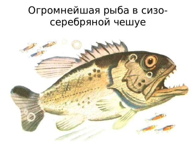 Огромнейшая рыба в сизо-серебряной чешуе
