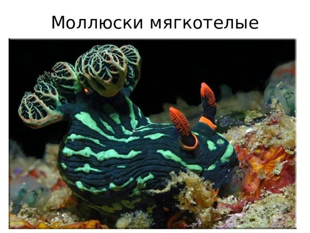 Моллюски мягкотелые