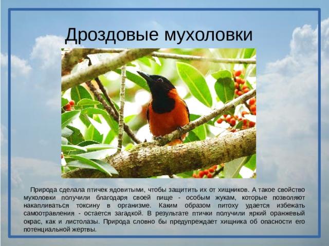 Дроздовые мухоловки  Природа сделала птичек ядовитыми, чтобы защитить их от хищников. А такое свойство мухоловки получили благодаря своей пище - особым жукам, которые позволяют накапливаться токсину в организме. Каким образом питоху удается избежать самоотравления - остается загадкой. В результате птички получили яркий оранжевый окрас, как и листолазы. Природа словно бы предупреждает хищника об опасности его потенциальной жертвы.