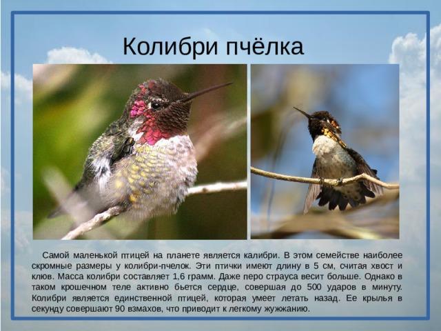 Колибри пчёлка  Самой маленькой птицей на планете является калибри. В этом семействе наиболее скромные размеры у колибри-пчелок. Эти птички имеют длину в 5 см, считая хвост и клюв. Масса колибри составляет 1,6 грамм. Даже перо страуса весит больше. Однако в таком крошечном теле активно бьется сердце, совершая до 500 ударов в минуту. Колибри является единственной птицей, которая умеет летать назад. Ее крылья в секунду совершают 90 взмахов, что приводит к легкому жужжанию.
