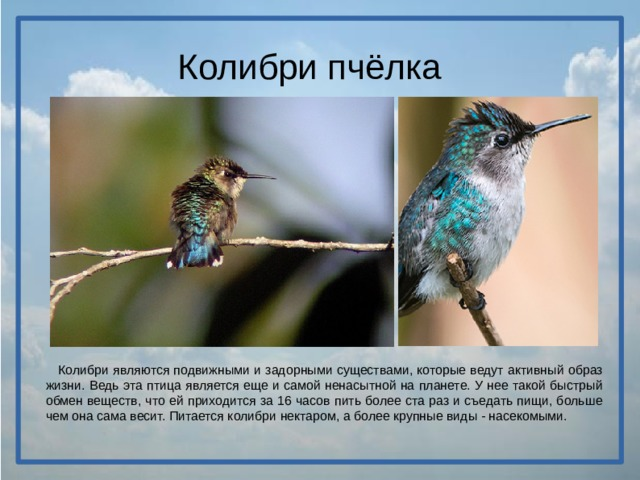 Колибри пчёлка  Колибри являются подвижными и задорными существами, которые ведут активный образ жизни. Ведь эта птица является еще и самой ненасытной на планете. У нее такой быстрый обмен веществ, что ей приходится за 16 часов пить более ста раз и съедать пищи, больше чем она сама весит. Питается колибри нектаром, а более крупные виды - насекомыми.