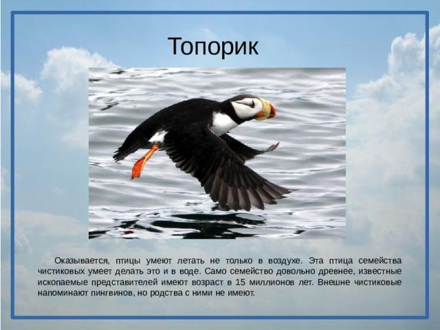 Топорик  Оказывается, птицы умеют летать не только в воздухе. Эта птица семейства чистиковых умеет делать это и в воде. Само семейство довольно древнее, известные ископаемые представителей имеют возраст в 15 миллионов лет. Внешне чистиковые напоминают пингвинов, но родства с ними не имеют.