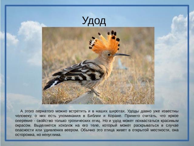 Удод  А этого пернатого можно встретить и в наших широтах. Удоды давно уже известны человеку, о них есть упоминания в Библии и Коране. Принято считать, что яркое оперение - свойство только тропических птиц. Но и удод может похвастаться красивым окрасом. Выделяется хохолок на его теле, который может раскрываться в случае опасности или удивления веером. Обычно это птица живет в открытой местности, она осторожна, но непуглива.