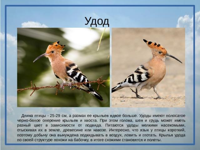 Удод  Длина птицы - 25-29 см, а размах ее крыльев вдвое больше. Удоды имеют полосатое черно-белое оперение крыльев и хвоста. При этом голова, шея и грудь может иметь разный цвет в зависимости от подвида. Питаются удоды мелкими насекомыми, отыскивая их в земле, древесине или навозе. Интересно, что язык у птицы короткий, поэтому добычу она вынуждена подкидывать в воздух, ловить и глотать. Крылья удода по своей структуре похожи на бабочку, в итоге схожими становятся и полеты.
