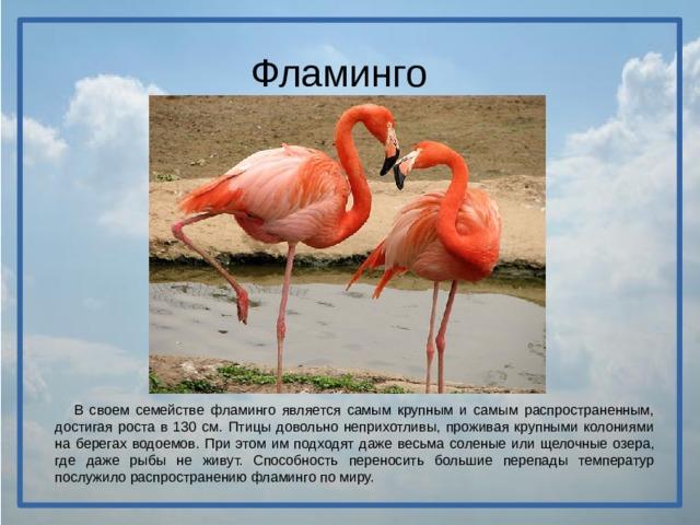 Фламинго  В своем семействе фламинго является самым крупным и самым распространенным, достигая роста в 130 см. Птицы довольно неприхотливы, проживая крупными колониями на берегах водоемов. При этом им подходят даже весьма соленые или щелочные озера, где даже рыбы не живут. Способность переносить большие перепады температур послужило распространению фламинго по миру.