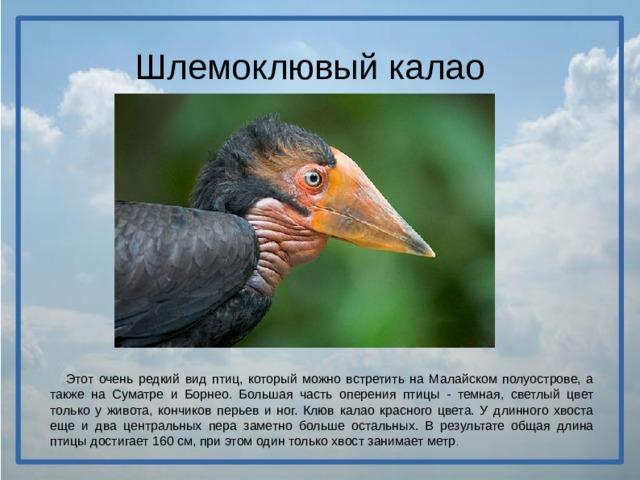 Шлемоклювый калао  Этот очень редкий вид птиц, который можно встретить на Малайском полуострове, а также на Суматре и Борнео. Большая часть оперения птицы - темная, светлый цвет только у живота, кончиков перьев и ног. Клюв калао красного цвета. У длинного хвоста еще и два центральных пера заметно больше остальных. В результате общая длина птицы достигает 160 см, при этом один только хвост занимает метр .