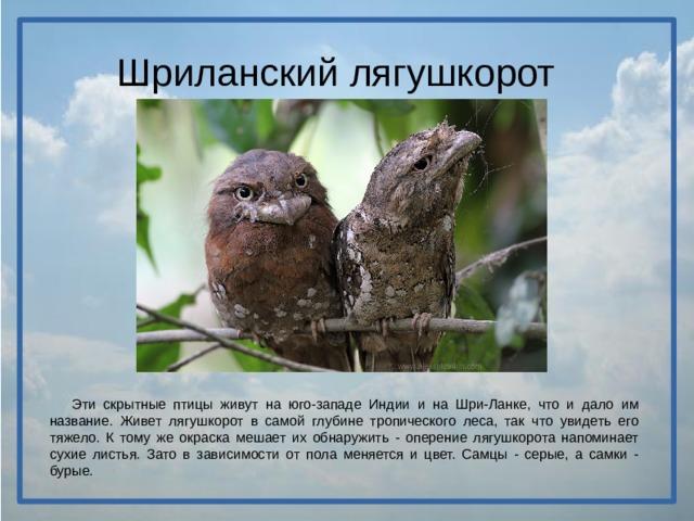 Шриланский лягушкорот  Эти скрытные птицы живут на юго-западе Индии и на Шри-Ланке, что и дало им название. Живет лягушкорот в самой глубине тропического леса, так что увидеть его тяжело. К тому же окраска мешает их обнаружить - оперение лягушкорота напоминает сухие листья. Зато в зависимости от пола меняется и цвет. Самцы - серые, а самки - бурые.