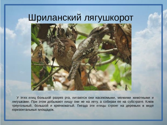 Шриланский лягушкорот  У этих птиц большой разрез рта, питаются они насекомыми, мелкими животными и лягушками. При этом добывают пищу они не на лету, а собирая ее на субстрате. Клюв треугольный, большой и крючковатый. Гнезда эти птицы строят на деревьях в виде горизонтальных площадок.