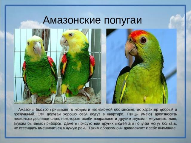 Амазонские попугаи  Амазоны быстро привыкают к людям и незнакомой обстановке, их характер добрый и послушный. Эти попугаи хорошо себя ведут в квартире. Птицы умеют произносить несколько десятков слов, некоторые особи подражают и другим звукам - мяуканью, лаю, звукам бытовых приборов. Даже в присутствии других людей эти попугаи могут болтать, не стесняясь вмешиваться в чужую речь. Таким образом они привлекают к себе внимание.