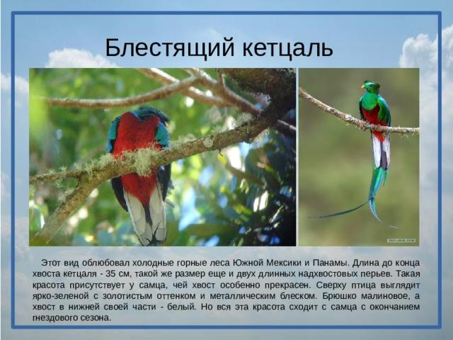 Блестящий кетцаль  Этот вид облюбовал холодные горные леса Южной Мексики и Панамы. Длина до конца хвоста кетцаля - 35 см, такой же размер еще и двух длинных надхвостовых перьев. Такая красота присутствует у самца, чей хвост особенно прекрасен. Сверху птица выглядит ярко-зеленой с золотистым оттенком и металлическим блеском. Брюшко малиновое, а хвост в нижней своей части - белый. Но вся эта красота сходит с самца с окончанием гнездового сезона.