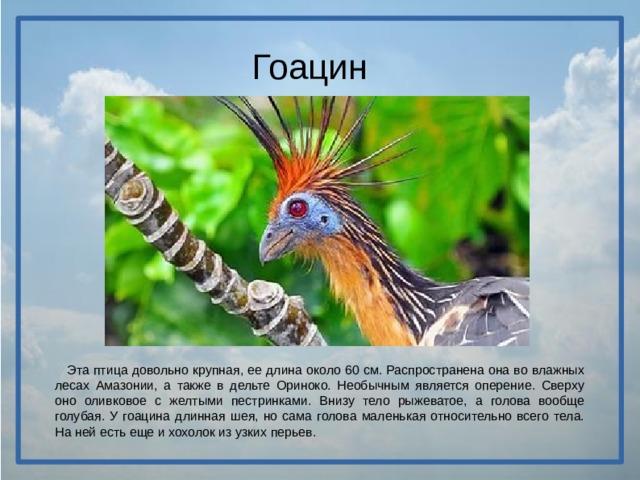 Гоацин  Эта птица довольно крупная, ее длина около 60 см. Распространена она во влажных лесах Амазонии, а также в дельте Ориноко. Необычным является оперение. Сверху оно оливковое с желтыми пестринками. Внизу тело рыжеватое, а голова вообще голубая. У гоацина длинная шея, но сама голова маленькая относительно всего тела. На ней есть еще и хохолок из узких перьев.