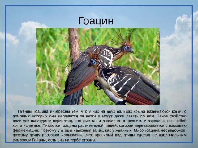 Гоацин  Птенцы гоацина интересны тем, что у них на двух пальцах крыла развиваются когти, с помощью которых они цепляются за ветки и могут даже лазать по ним. Такое свойство является наследием первоптиц, которые так и лазали по деревьям. У взрослых же особей когти исчезают. Питаются гоацины растительной пищей, которая переваривается с помощью ферментации. Поэтому у птицы навозный запах, как у жвачных. Мясо гоацина несъедобное, поэтому птицу прозвали «вонючей». Зато красивый вид птицы сделал ее национальным символом Гайаны, есть она на гербе страны.