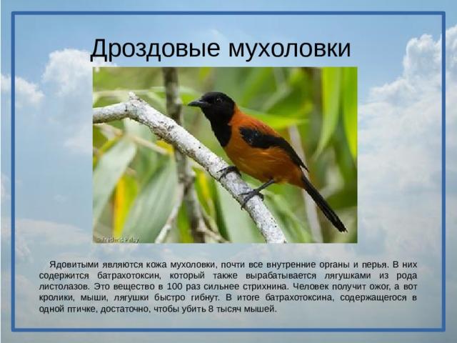 Дроздовые мухоловки  Ядовитыми являются кожа мухоловки, почти все внутренние органы и перья. В них содержится батрахотоксин, который также вырабатывается лягушками из рода листолазов. Это вещество в 100 раз сильнее стрихнина. Человек получит ожог, а вот кролики, мыши, лягушки быстро гибнут. В итоге батрахотоксина, содержащегося в одной птичке, достаточно, чтобы убить 8 тысяч мышей.