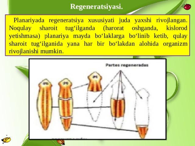 Regeneratsiyasi. Planariyada regeneratsiya xususiyati juda yaxshi rivojlangan. Noqulay sharoit tug'ilganda (harorat oshganda, kislorod yetishmasa) planariya mayda bo'laklarga bo'linib ketib, qulay sharoit tug'ilganida yana har bir bo'lakdan alohida organizm rivojlanishi mumkin.