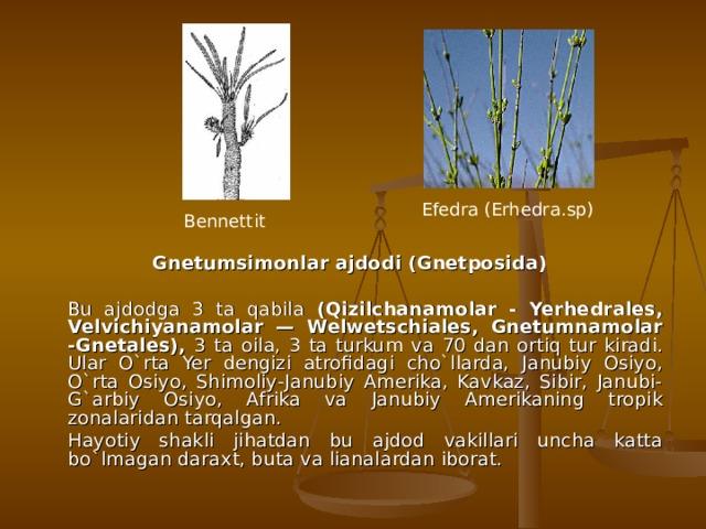 Efedra ( Erhedra . sp ) Bennettit Gnetumsimonlar ajdodi (Gnetposida)   Bu ajdodga 3 ta qabila (Qizilchanamolar - Yerhedrales, Velvichiyanamolar — Welwetschiales, Gnetumnamolar -Gnetales), 3 ta oila, 3 ta turkum va 70 dan ortiq tur kiradi. Ular O`rta Yer dengizi atrofidagi cho`llarda, Janubiy Osiyo, O`rta Osiyo, Shimoliy-Janubiy Amerika, Kavkaz, Sibir, Janubi-G`arbiy Osiyo, Afrika va Janubiy Amerikaning tropik zonalaridan tarqalgan.    Hayotiy shakli jihatdan bu ajdod vakillari uncha katta bo`lmagan daraxt, buta va lianalardan iborat.