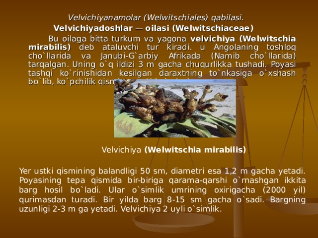 Velvichiyanamolar (Welwitschiales) qabilasi. Velvichiyadoshlar — oilasi (Welwitschiaceae)   Bu oilaga bitta turkum va yagona velvichiya (Welwitschia mirabilis) deb ataluvchi tur kiradi. u Angolaning toshloq cho`llarida va Janubi-G`arbiy Afrikada (Namib cho`llarida) tarqalgan. Uning o`q ildizi 3 m gacha chuqurlikka tushadi. Poyasi tashqi ko`rinishidan kesilgan daraxtning to`nkasiga o`xshash bo`lib, ko`pchilik qismi yer ostida joylashgan. Velvichiya (Welwitschia mirabilis) Yer ustki q isminin g balandligi 50 sm, diametri esa 1,2 m gacha yetadi. Poyasining tepa qi smida bir-biriga qarama-qar shi o`rnashgan ikkita barg h osil bo`ladi. Ular o`simlik umrining oxirigacha (2000 yil) q urimasdan turadi. Bir yilda barg 8-15 sm gacha o`sadi. Bargning uzunligi 2-3 m ga yetadi. Velvichiya 2 uyli o`simlik.