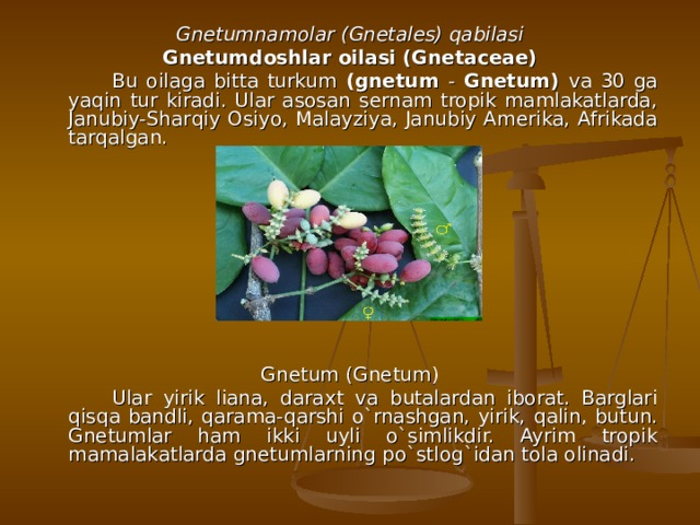 Gnetumnamolar (Gnetales) qabilasi Gnetumdoshlar oilasi (Gnetaceae)   Bu oilaga bitta turkum (gnetum - Gnetum) va 30 ga yaqin tur kiradi. Ular asosan sernam tropik mamlakatlarda, Janubiy-Shar q iy Osiyo, Malayziya, Janubiy Amerika, Afrikada tarqalgan. Gnetum (Gnetum)   Ular yirik liana, daraxt va butalardan iborat. Barglari qisqa bandli, qarama- q arshi o`rnashgan, yirik, qa lin, butun. Gnetumlar ham ikki uyli o`simlikdir. Ayrim tropik mamalakatlarda gnetumlarning po`stlog`idan tola olinadi.