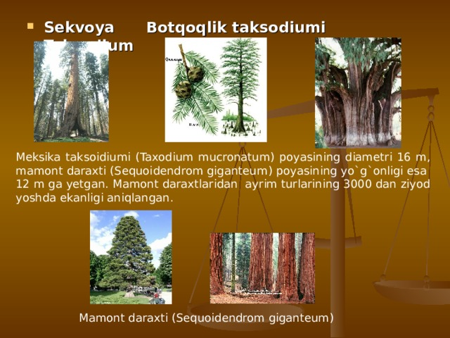 Sekvoya Botqoqlik taksodiumi Taksodium