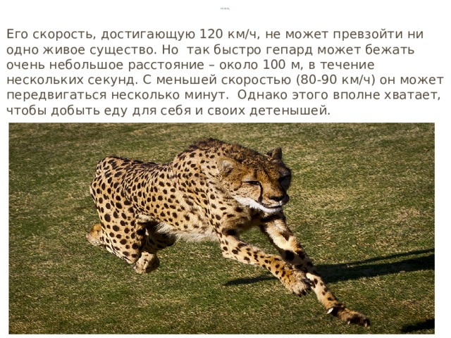 Гепард Его скорость, достигающую 120 км∕ч, не может превзойти ни одно живое существо. Но так быстро гепард может бежать очень небольшое расстояние – около 100 м, в течение нескольких секунд. С меньшей скоростью (80-90 км∕ч) он может передвигаться несколько минут. Однако этого вполне хватает, чтобы добыть еду для себя и своих детенышей.