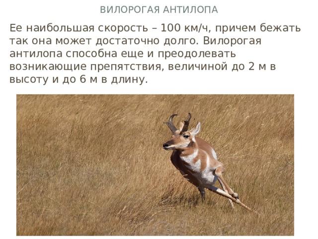 Вилорогая антилопа Ее наибольшая скорость – 100 км∕ч, причем бежать так она может достаточно долго. Вилорогая антилопа способна еще и преодолевать возникающие препятствия, величиной до 2 м в высоту и до 6 м в длину.