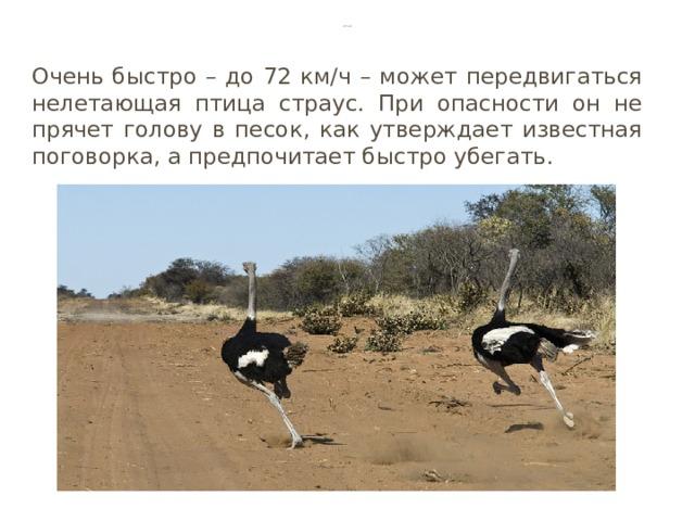 Страус Очень быстро – до 72 км∕ч – может передвигаться нелетающая птица страус. При опасности он не прячет голову в песок, как утверждает известная поговорка, а предпочитает быстро убегать.