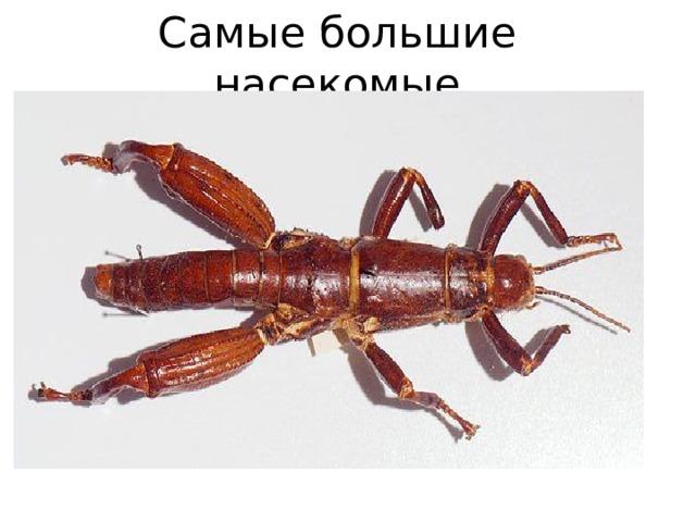 Самые большие насекомые