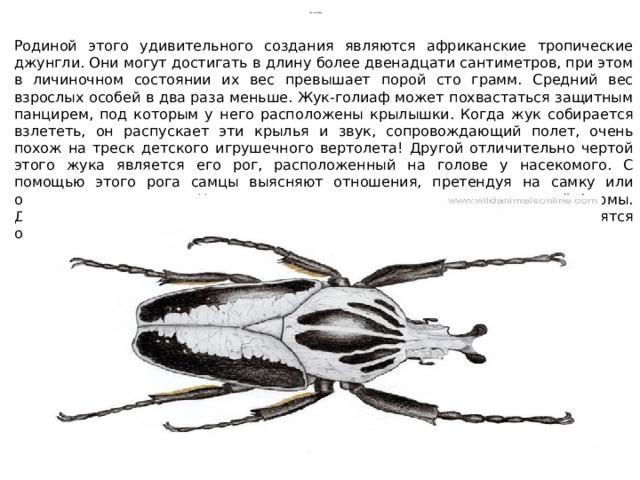 Жук-голиаф Родиной этого удивительного создания являются африканские тропические джунгли. Они могут достигать в длину более двенадцати сантиметров, при этом в личиночном состоянии их вес превышает порой сто грамм. Средний вес взрослых особей в два раза меньше. Жук-голиаф может похвастаться защитным панцирем, под которым у него расположены крылышки. Когда жук собирается взлететь, он распускает эти крылья и звук, сопровождающий полет, очень похож на треск детского игрушечного вертолета! Другой отличительно чертой этого жука является его рог, расположенный на голове у насекомого. С помощью этого рога самцы выясняют отношения, претендуя на самку или отстаивая территорию. У самок также есть рог, правда несколько иной формы. Да и служит другой цели – с его помощью самки роют норки, когда готовятся отложить яйца.