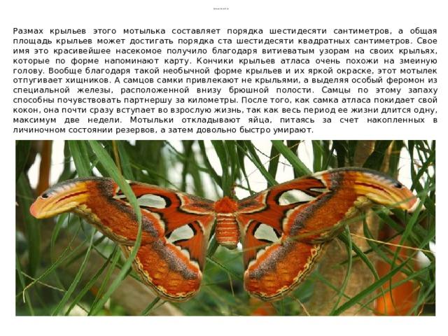 Павлиноглазка Атлас Размах крыльев этого мотылька составляет порядка шестидесяти сантиметров, а общая площадь крыльев может достигать порядка ста шестидесяти квадратных сантиметров. Свое имя это красивейшее насекомое получило благодаря витиеватым узорам на своих крыльях, которые по форме напоминают карту. Кончики крыльев атласа очень похожи на змеиную голову. Вообще благодаря такой необычной форме крыльев и их яркой окраске, этот мотылек отпугивает хищников. А самцов самки привлекают не крыльями, а выделяя особый феромон из специальной железы, расположенной внизу брюшной полости. Самцы по этому запаху способны почувствовать партнершу за километры. После того, как самка атласа покидает свой кокон, она почти сразу вступает во взрослую жизнь, так как весь период ее жизни длится одну, максимум две недели. Мотыльки откладывают яйца, питаясь за счет накопленных в личиночном состоянии резервов, а затем довольно быстро умирают.