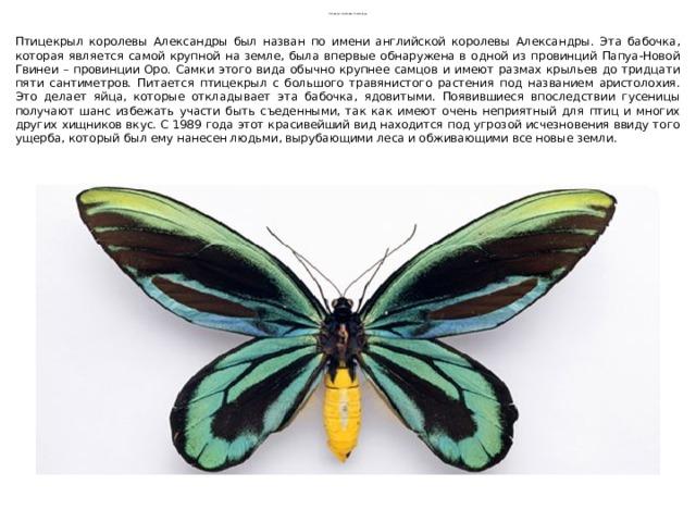 Птицекрыл королевы Александры Птицекрыл королевы Александры был назван по имени английской королевы Александры. Эта бабочка, которая является самой крупной на земле, была впервые обнаружена в одной из провинций Папуа-Новой Гвинеи – провинции Оро. Самки этого вида обычно крупнее самцов и имеют размах крыльев до тридцати пяти сантиметров. Питается птицекрыл с большого травянистого растения под названием аристолохия. Это делает яйца, которые откладывает эта бабочка, ядовитыми. Появившиеся впоследствии гусеницы получают шанс избежать участи быть съеденными, так как имеют очень неприятный для птиц и многих других хищников вкус. С 1989 года этот красивейший вид находится под угрозой исчезновения ввиду того ущерба, который был ему нанесен людьми, вырубающими леса и обживающими все новые земли.