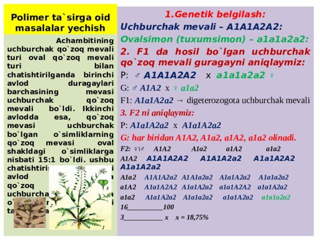 Polimer ta`sirga oid masalalar yechish 1.Genetik belgilash: Uchburchak mevali – A1A1A2A2: Ovalsimon (tuxumsimon) – a1a1a2a2: 2. F1 da hosil bo`lgan uchburchak qo`zoq mevali guragayni aniqlaymiz: P: ♂ A1A1A2A2 x a1a1a2a2 ♀ G: ♂ A1A2 x ♀ a1a2 F1: A1a1A2a2 → digeterozogota uchburchak mevali 3. F2 ni aniqlaymiz: P: A1a1A2a2 x A1a1A2a2 G: har biridan A1A2, A1a2, a1A2, a1a2 olinadi. F2: ♀\♂ A1A2 A1a2 a1A2 a1a2 A1A2 A1A1A2A2 A1A1A2a2 A1a1A2A2 A1a1A2a2 A1a2 A1A1A2a2 A1A1a2a2 A1a1A2a2 A1a1a2a2 a1A2 A1a1A2A2 A1a1A2a2 a1a1A2A2 a1a1A2a2 a1a2 A1a1A2a2 A1a1a2a2 a1a1A2a2 a1a1a2a2 16__________100 3___________ x x = 18,75%  Achambitining uchburchak qo`zoq mevali turi oval qo`zoq mevali turi bilan chatishtirilganda birinchi avlod duragaylari barchasining mevasi uchburchak qo`zoq mevali bo`ldi. Ikkinchi avlodda esa, qo`zoq mevasi uchburchak bo`lgan o`simliklarning qo`zoq mevasi oval shakldagi o`simliklarga nisbati 15:1 bo`ldi. ushbu chatishtirishdagi ikkinchi avlod duragaylarida qo`zoq mevasi uchburchak digomozigota o`simliklar necha foizni tashkil etadi?