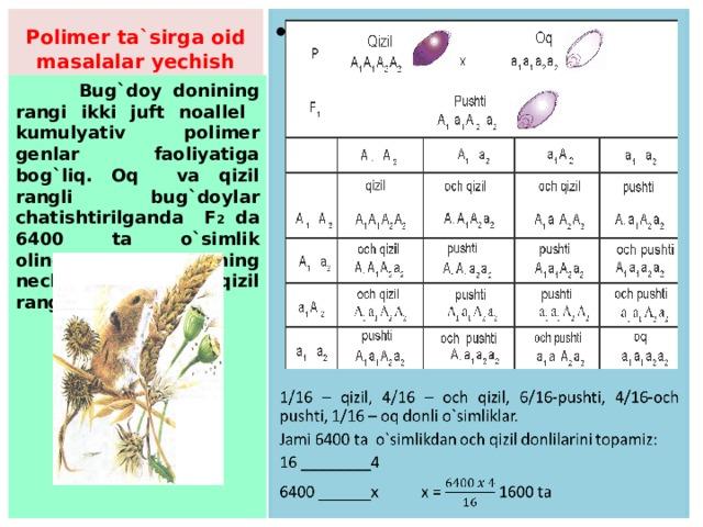Polimer ta`sirga oid masalalar yechish  1/16 – qizil, 4/16 – och qizil, 6/16-pushti, 4/16-och pushti, 1/16 – oq donli o`simliklar. Jami 6400 ta o`simlikdan och qizil donlilarini topamiz: 16 ________4 6400 ______x x = 1600 ta  Bug`doy donining rangi ikki juft noallel kumulyativ polimer genlar faoliyatiga bog`liq. Oq va qizil rangli bug`doylar chatishtirilganda F 2 da 6400 ta o`simlik olingan. Hosilning nechtasi och qizil rangda bo`ladi?