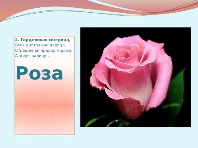 2.Горделивая сестрица, Всех цветов она царица. Страшен ей приход мороза. А зовут царицу... Роза