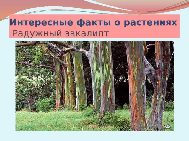 Интересные факты о растениях  Радужный эвкалипт